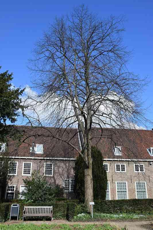 Willemslinde in Delft
